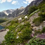 A family of mountain goats we crossed paths with